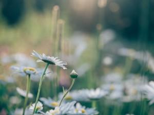 daisies-846079_1280