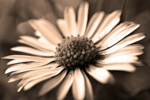dandelion-71004_1280