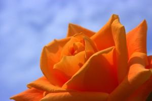 rose-177890_1280