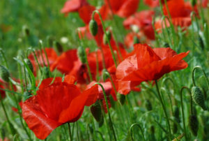 red poppies in green field